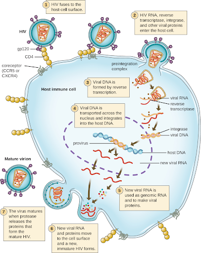 Illustration with labels showing HIV attached to cell surface receptor