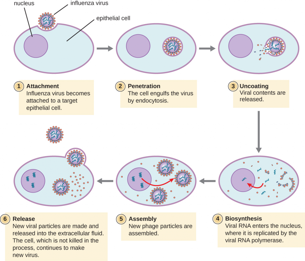 Illustration of Influenza virus attaching to target cell and replication within nucleus of cells.