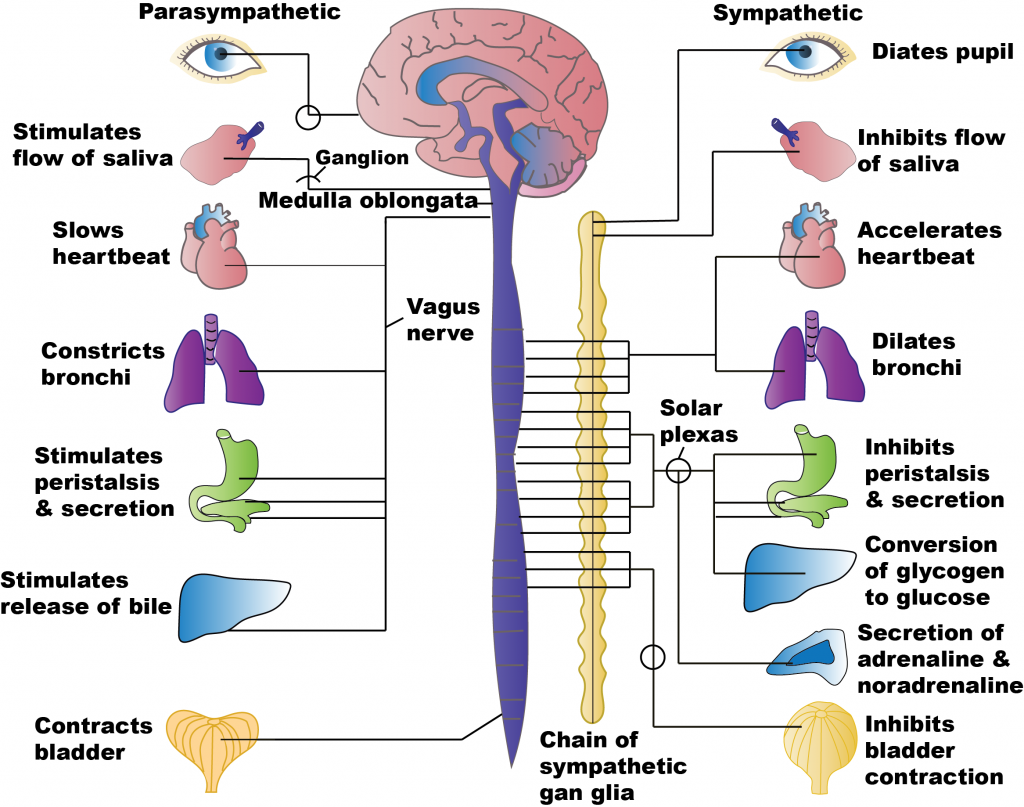 Diagram showing parts of parasympathetic and sympathetic stimulation on labeled target organs.