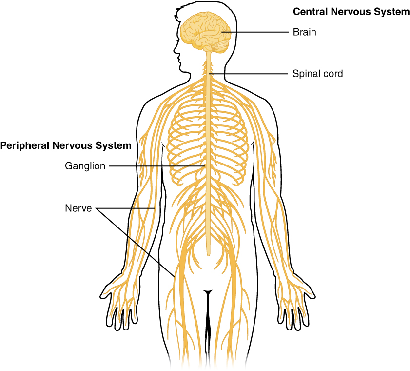 Outline of human body showing Central and Peripheral Nervous systems, with labels indicating locations of brain, spinal cord, ganglion, and nerves.