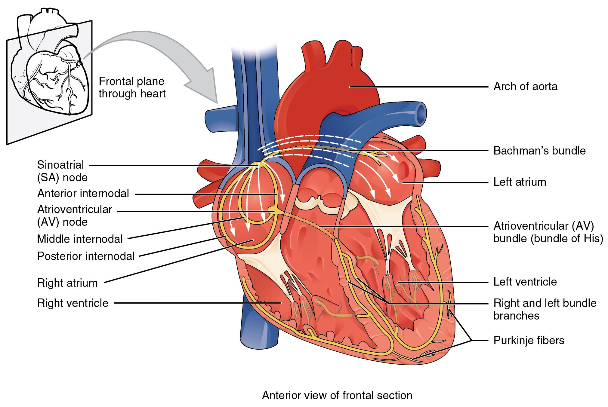 Illustration of human heart from anterior view of frontal section with labels for major areas. Also has small inset illustration of frontal plane through heart.
