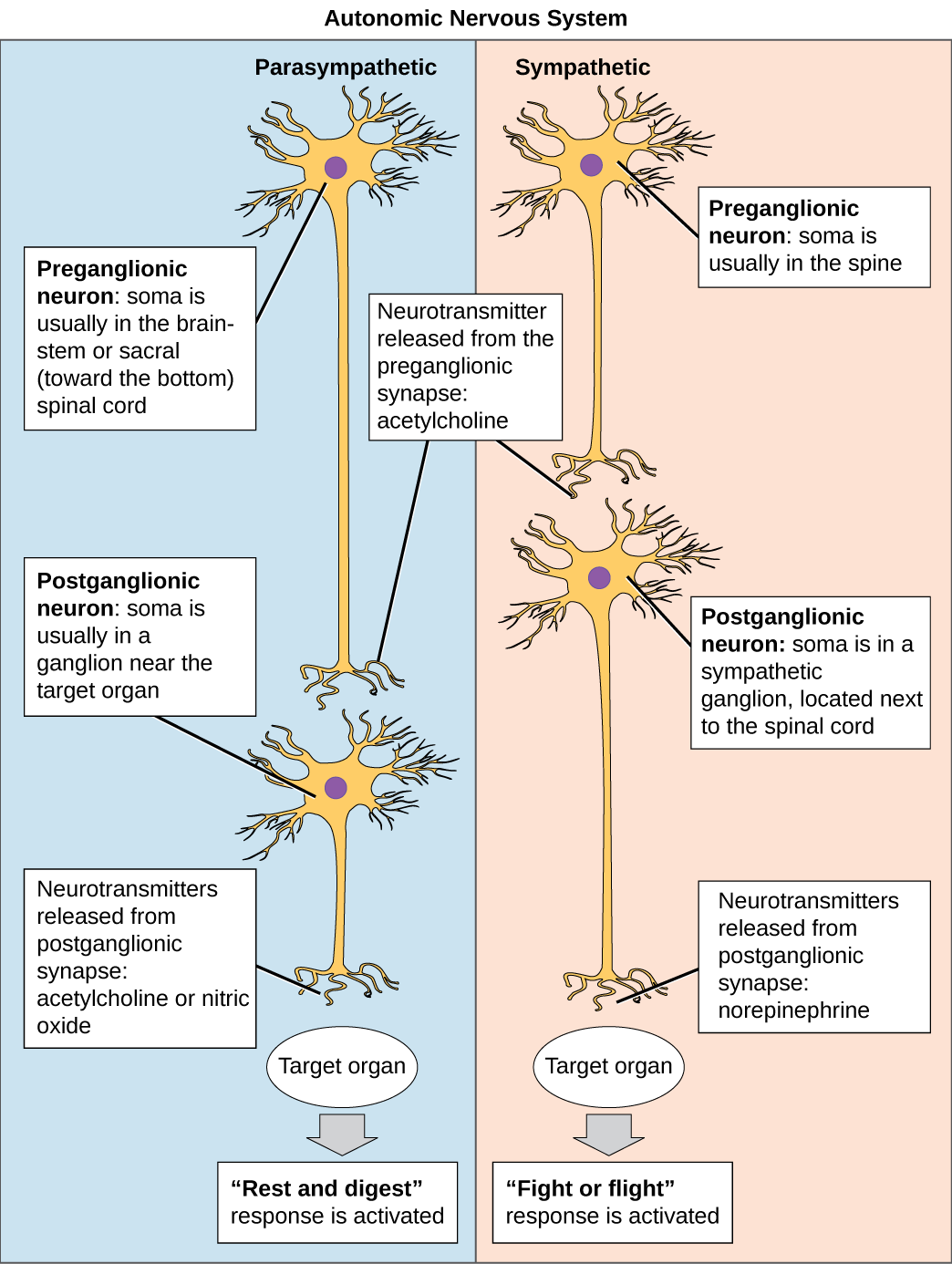 Image showing Autonomic System neurons conduct signals via the preganglionic neurons to postganglionic neurons to the target organs.