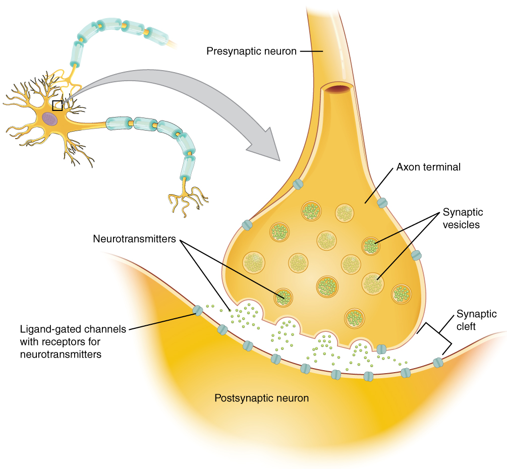 Illustration of the synapse with labels for synaptic vesticles, synaptic cleft, neurons, neurotransmitters, and Ligand gated channels.