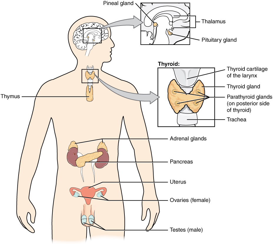 Illustration of human body showing labeled parts of endocrine system