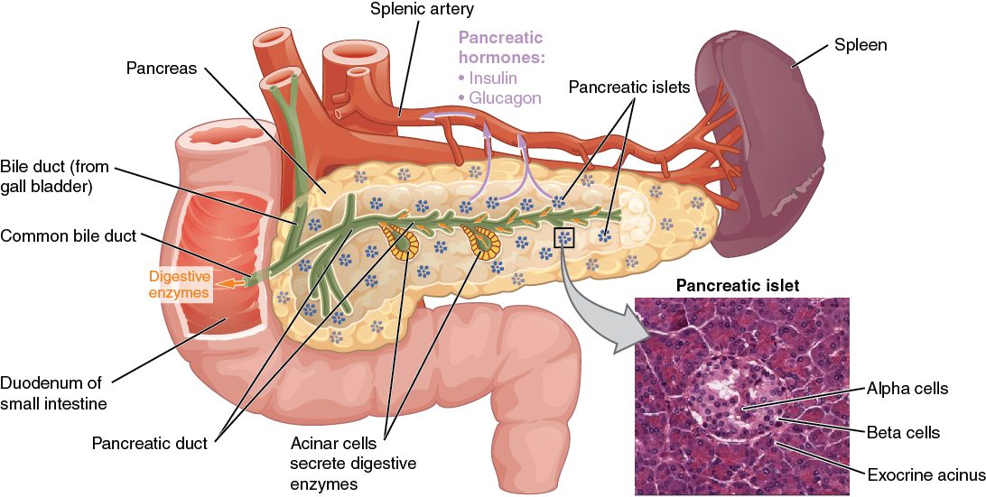 Illustration and micrograph showing pancreas and surrounding structures, with labels.