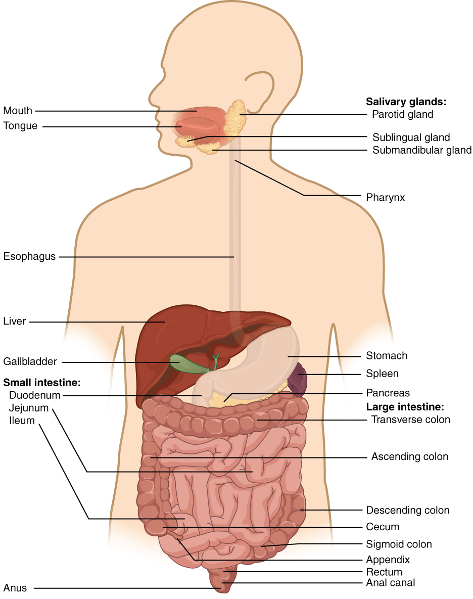 Illustrations showing labeled components of the GI system on a human torso