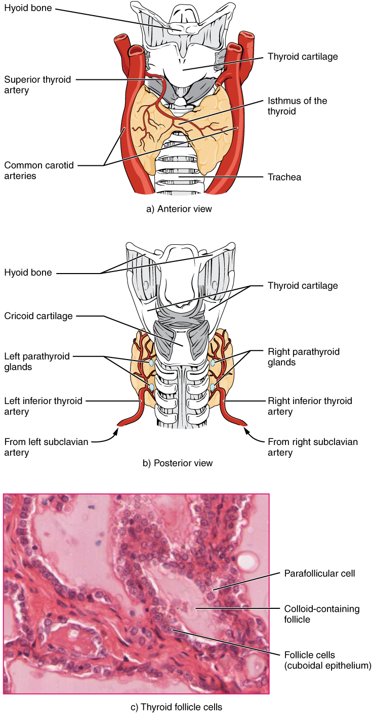 Illustration and micrograph showing thyroid and surrounding structures.