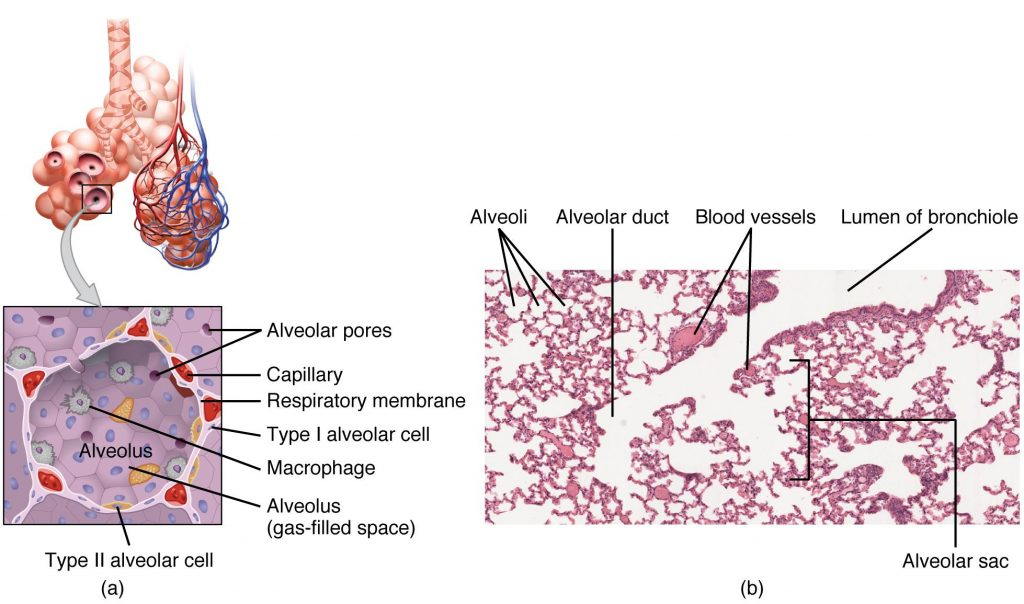 Image and microphotography showing structures of the Respiratory Zone, with labels.
