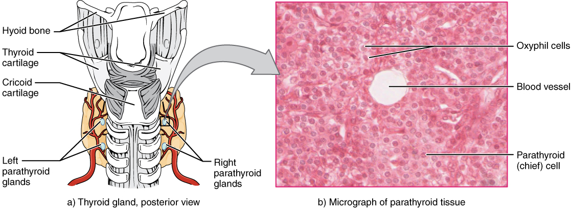 Illustration and micrograph showing paratyroid glands and surrounding structures.