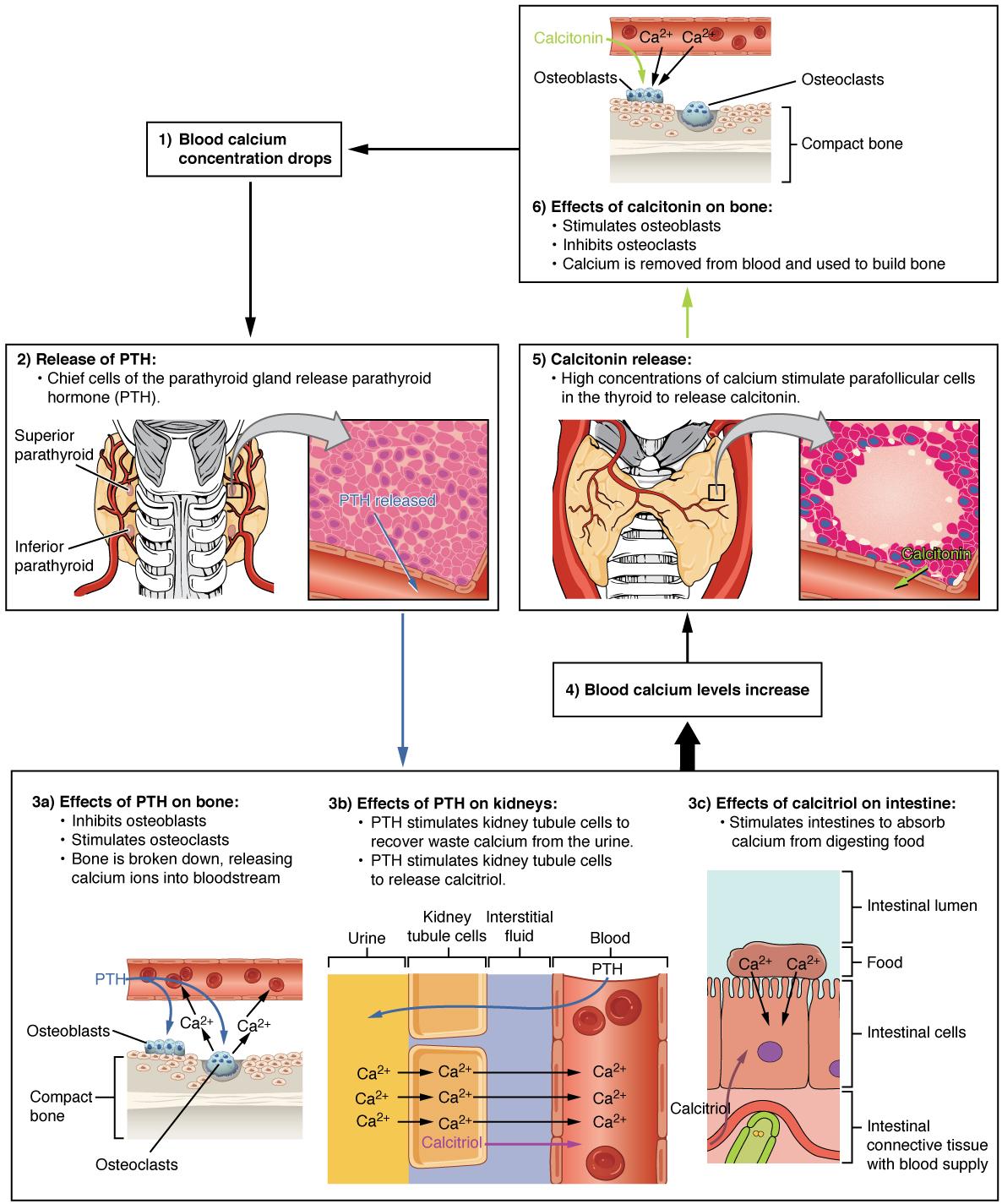 Illustrations showing parathyroid hormone maintaining blood calcium homeostasis