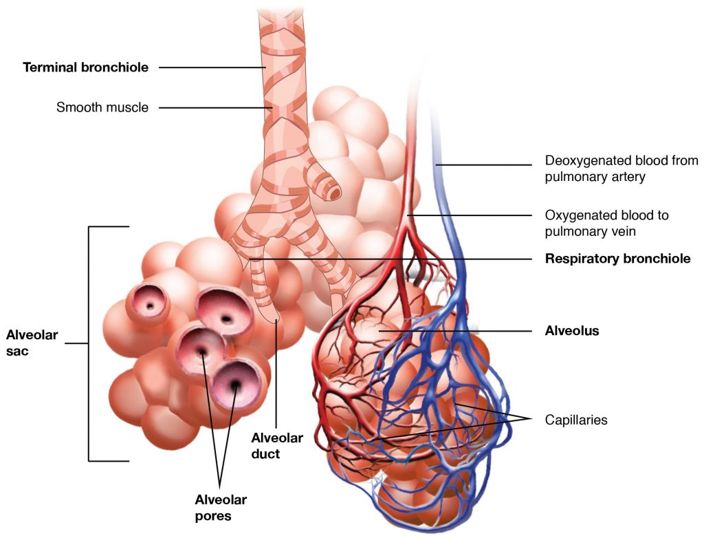 Image showing Respiratory Zone Bronchioles lead to alveolar sacs in the respiratory zone where gas exchange occurs, with labels for major features.