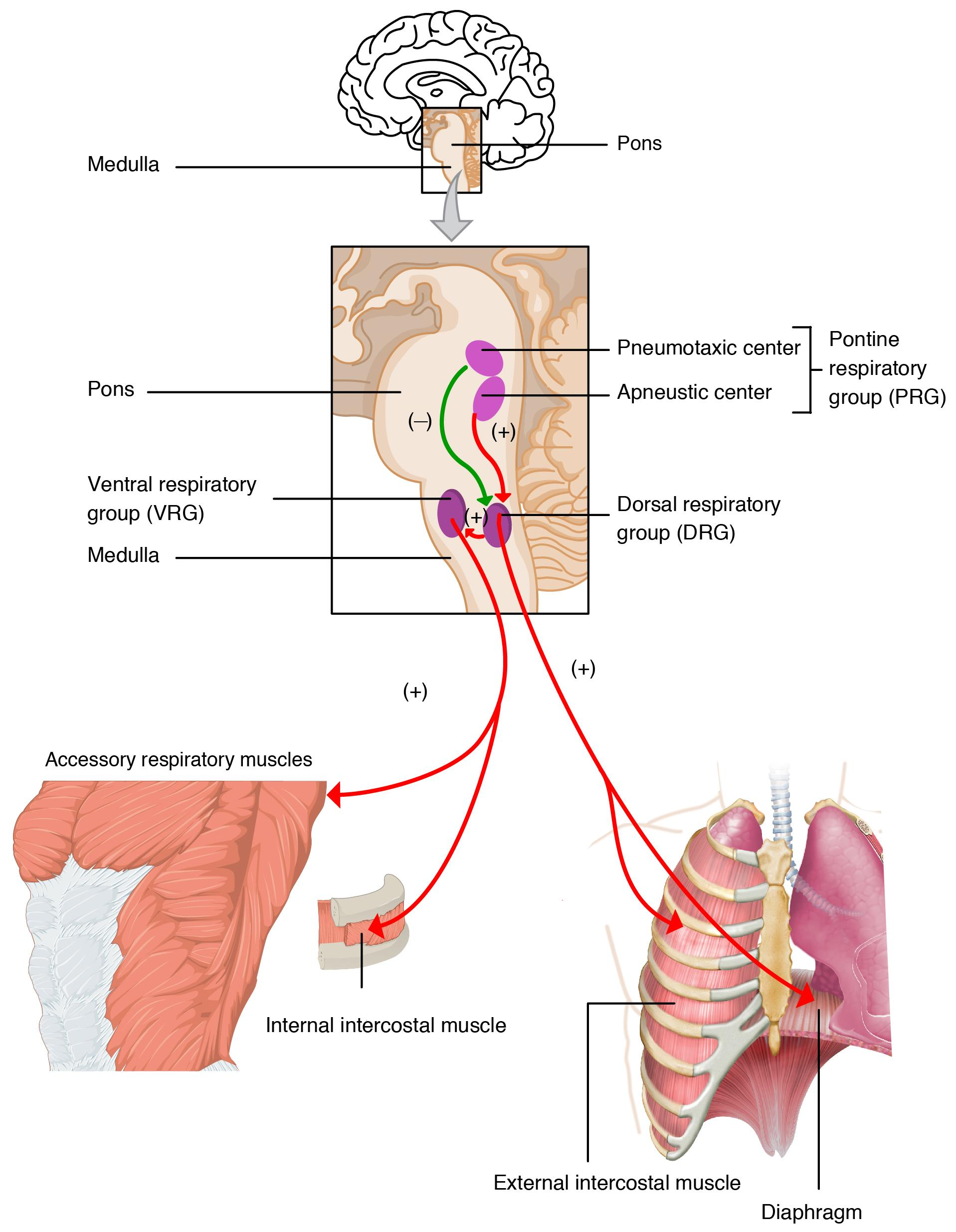 Illlustration of respiratory centers of the brain, with labels.