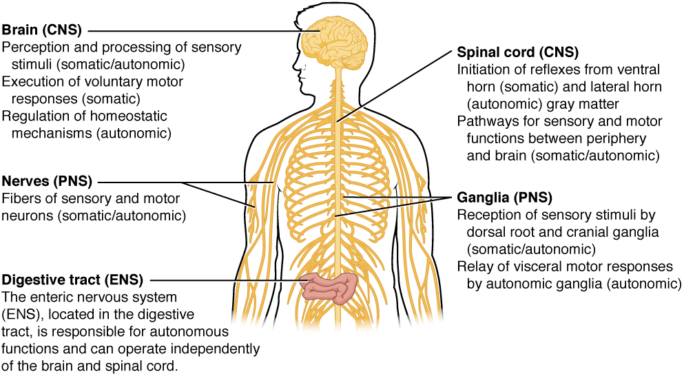 Illustration of human torso showing labeled parts of Somatic, Autonomic, and Enteric Structures of the Nervous System