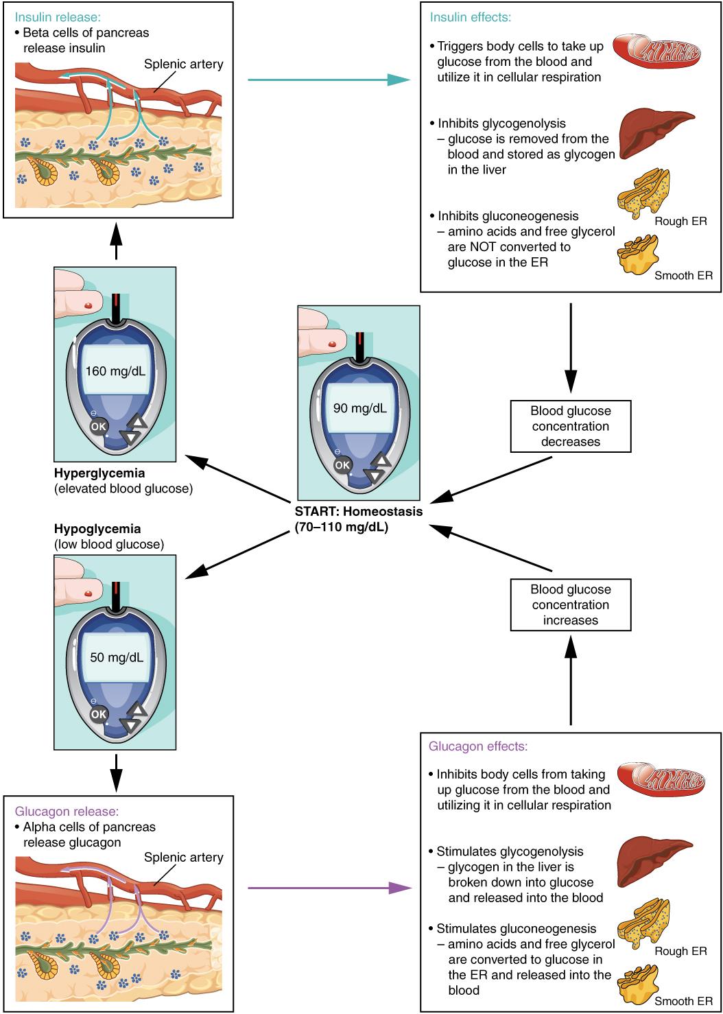 Illustration showing homeostatic regulation of blook glucose levels, with labels.