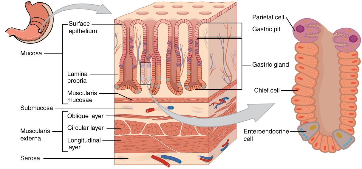 Illustration showing labeled parts of stomach with enlargement of the gastric gland.