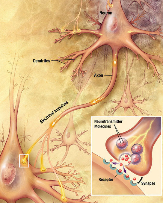 Illustration showing labeled elements of neuron communication, with magnified inset of synapse and receptor