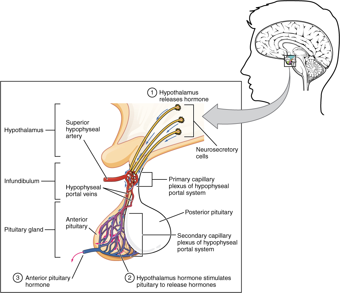 Illustration showing enlarged view of posterior pituitary with labels.