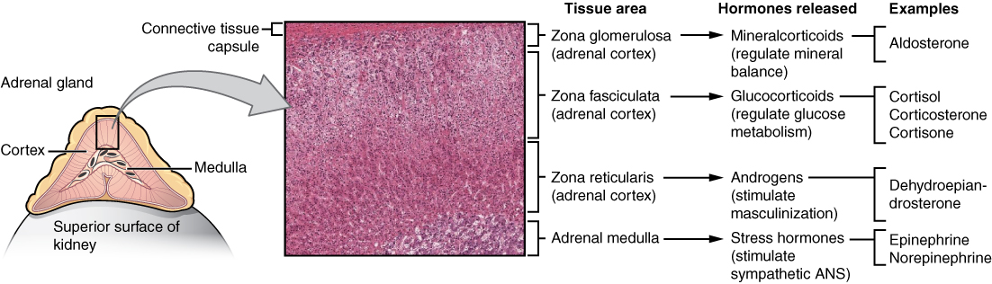 Illustration showing enlarged view of adrenal gland and micrograph cross section of tissues.