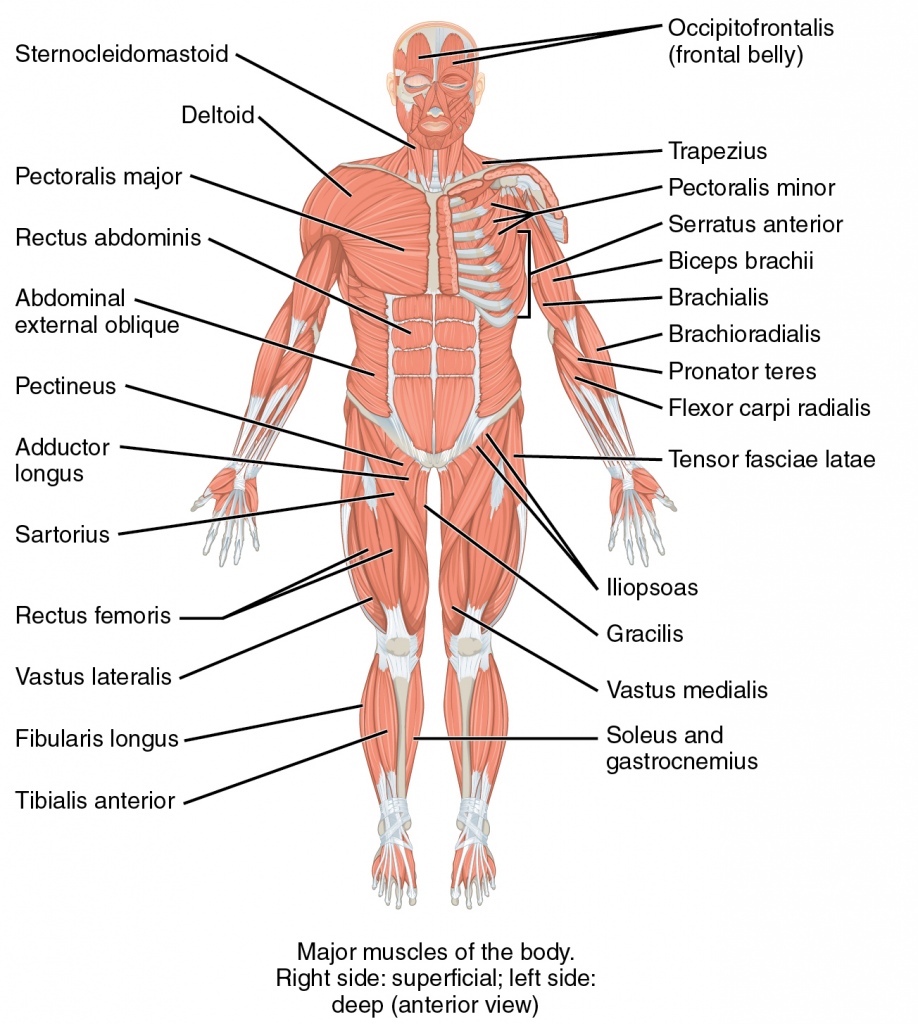 Illustration, with labels, of the musculoskeletal system.