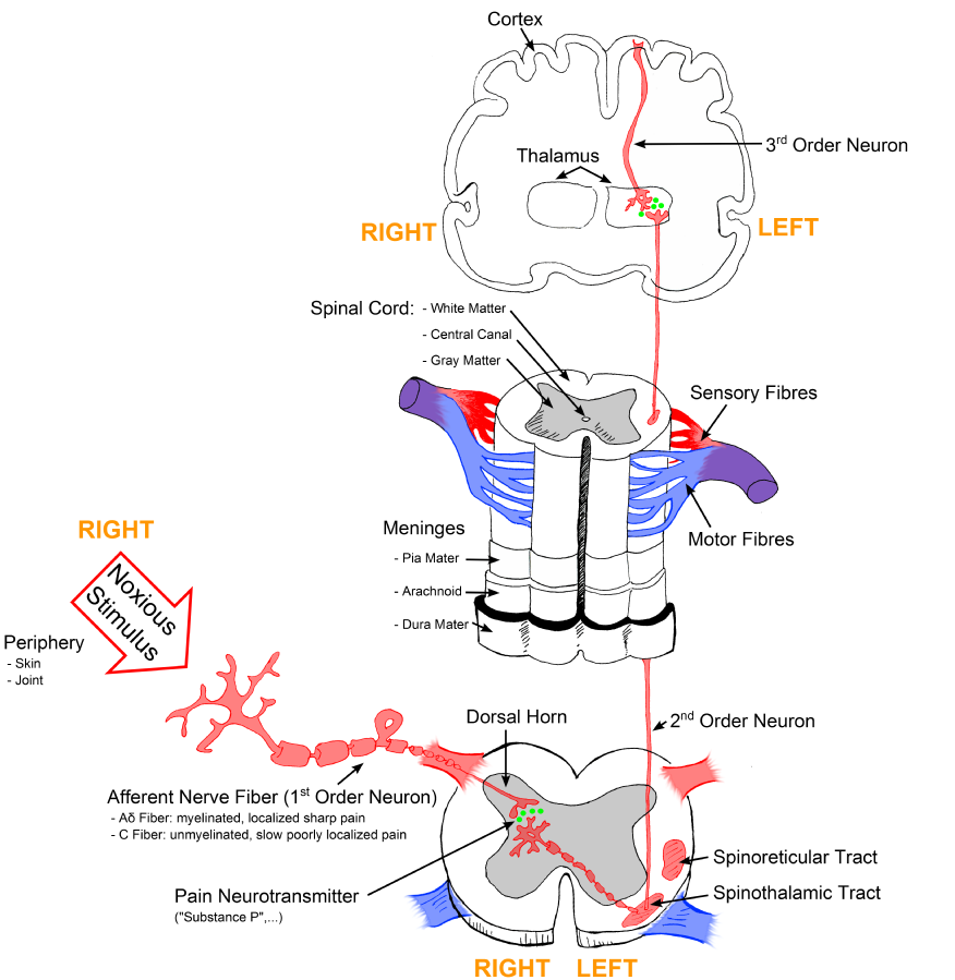 Illustration, with labels, showing signal pathway from periphery all the way to cortex