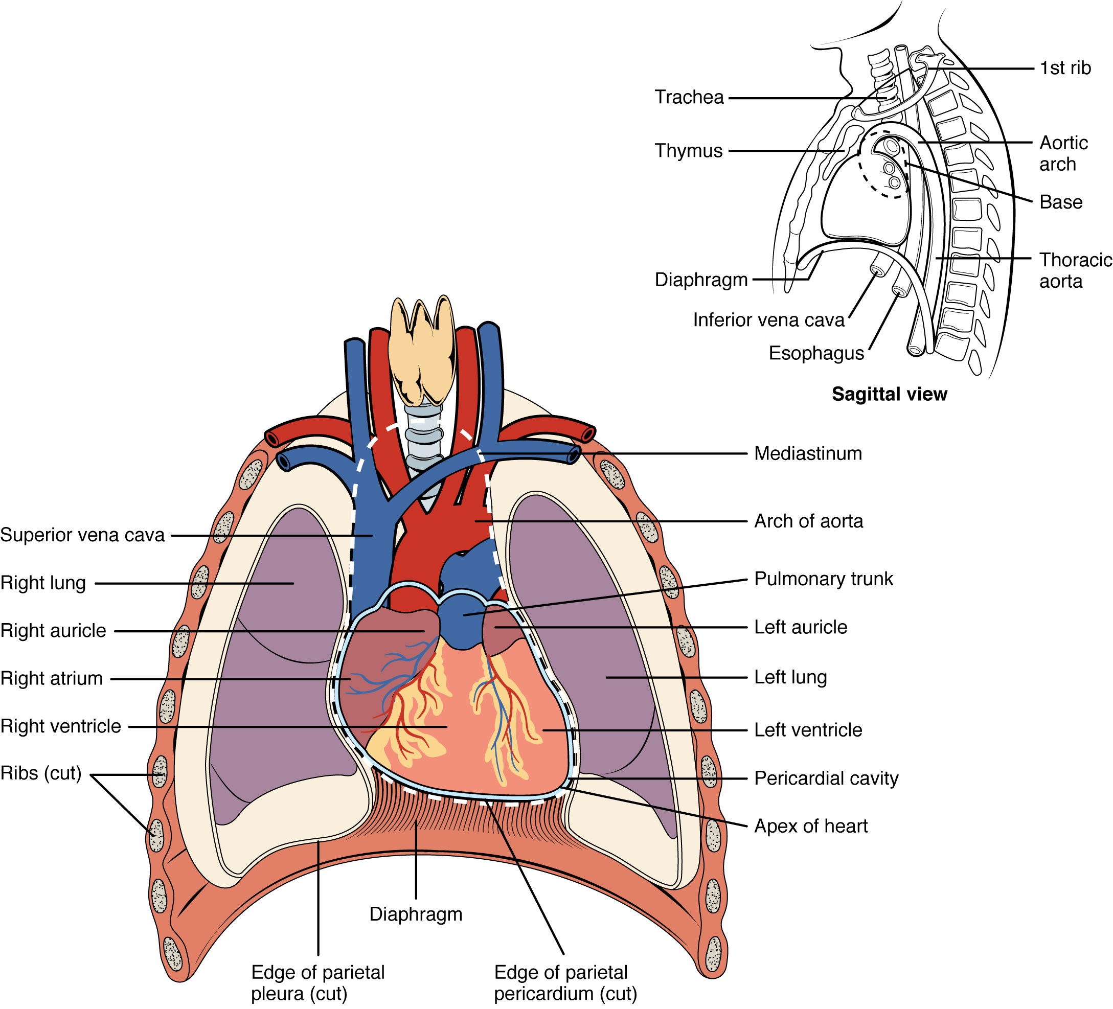 Illustration, with labels, showing position of the heart in the thoracic cavity.