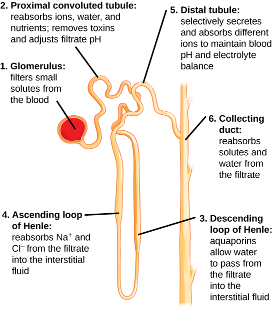 Illustration, with labels, showing nephron structure