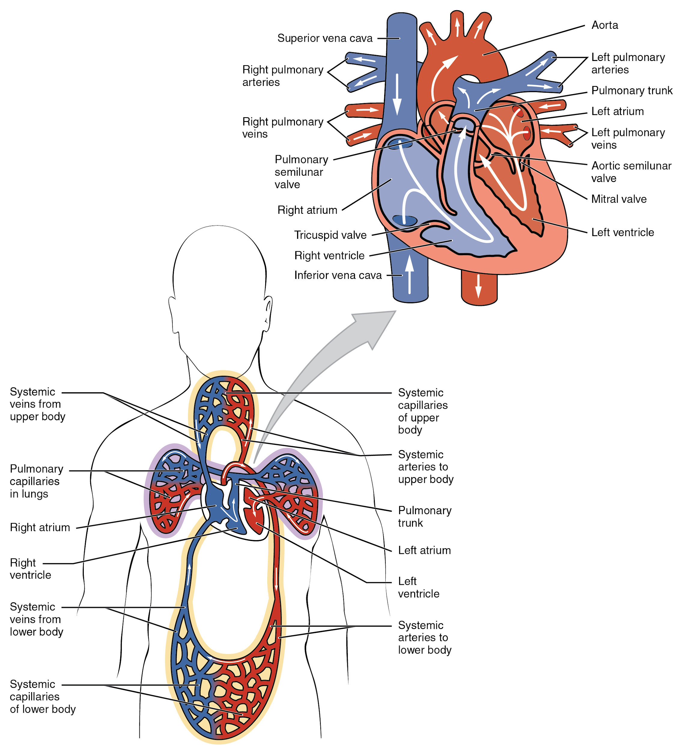 Illustration, with labels showing chambers of heart and blood circulation.