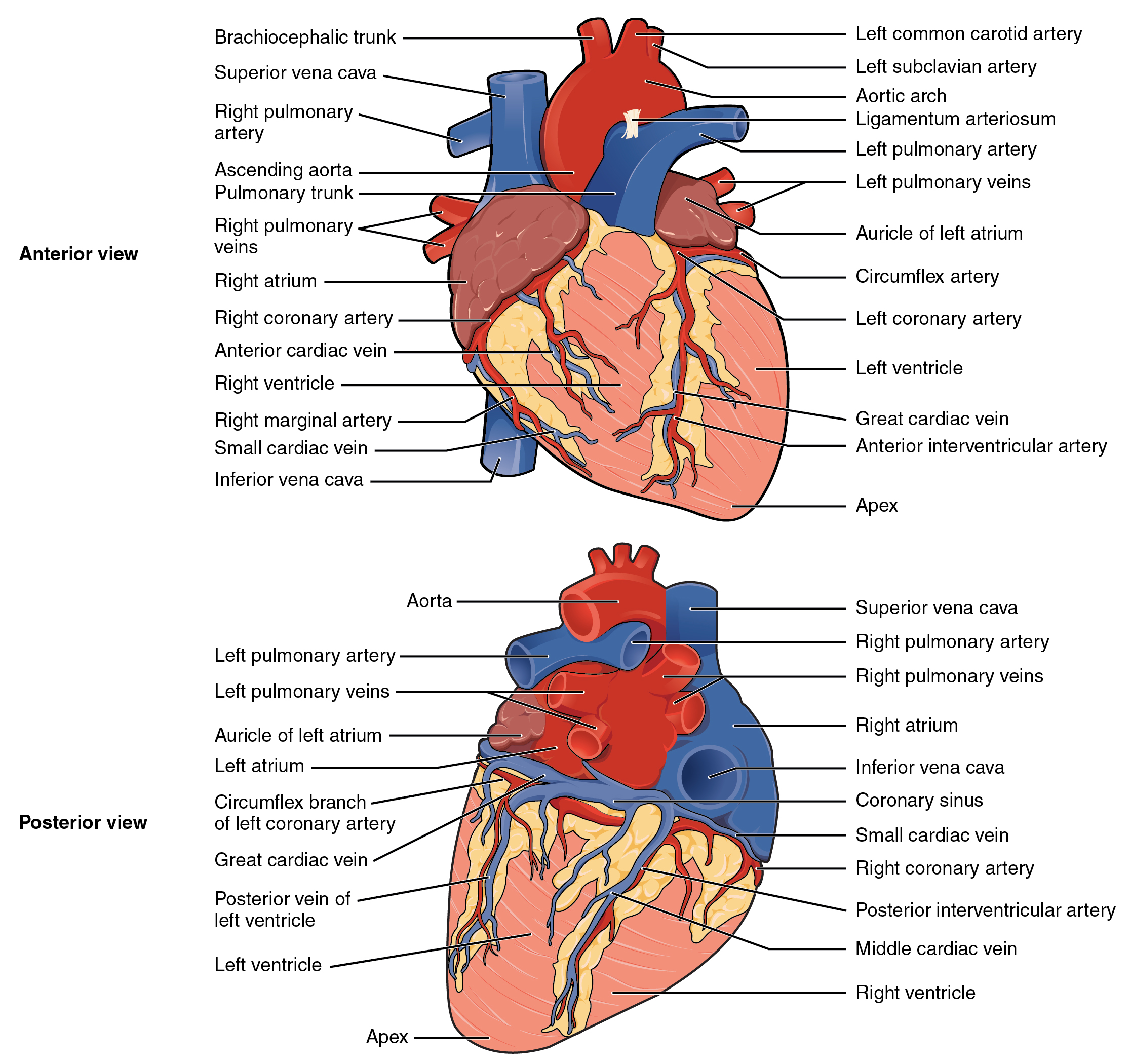 Illustration with labels, showing heart from anterior and posterior views.