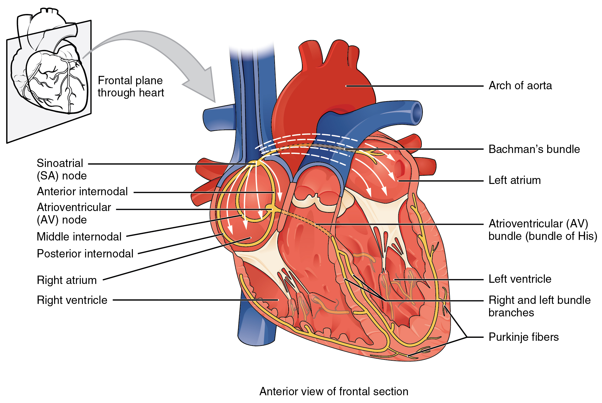 Illustration, with labels, showing anterior view of frontal section and frontal plane through heart.
