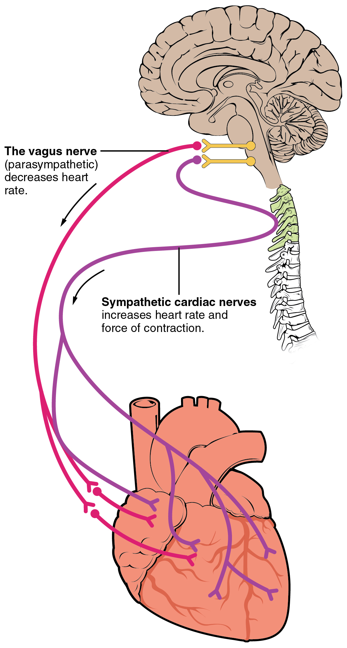 Illustration, with labels, showing the route between the vagus and sympathetic cardiac nerves.